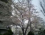桜七分咲き?!