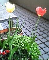 咲きすぎたチューリップ
