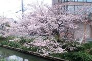 桜が咲いて・・
