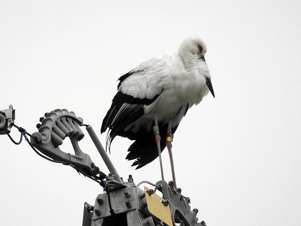 鳴門コウノトリ 2016年4月1日 徳島県鳴門市大津町