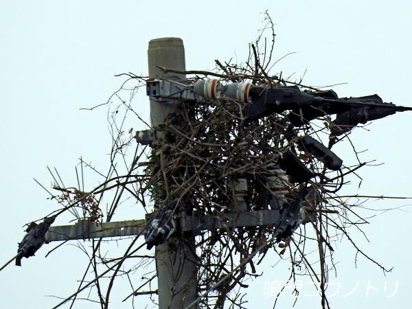 徳島県鳴門市大麻町 コウノトリ 鸛 電柱 巣 2016年2月29日