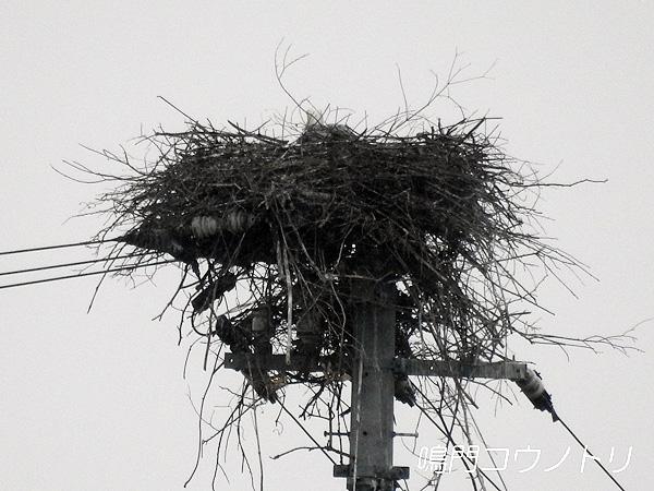 鳴門コウノトリ 2016年4月1日 徳島県鳴門市大麻町