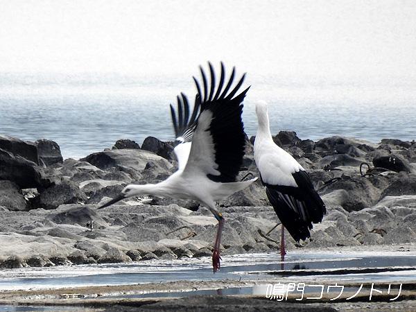 鳴門コウノトリ 2015年11月29日 徳島県 吉野川 吉野川第十堰