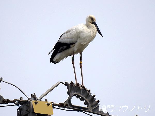 鳴門コウノトリ 2016年3月30日 徳島県鳴門市大津町