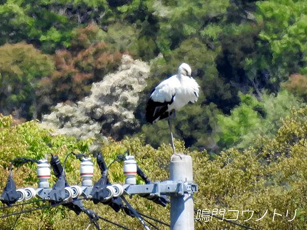 鳴門コウノトリ 2016年4月17日 徳島県鳴門市大麻町