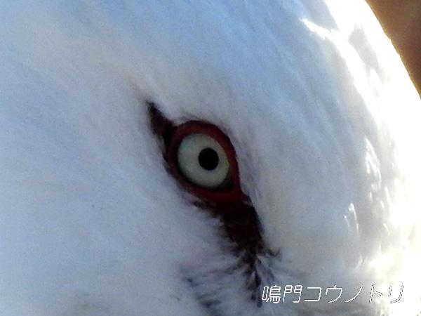 鳴門コウノトリ 目 瞳 瞬膜 : 鳴...