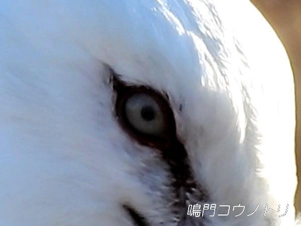 徳島県鳴門市 鳴門コウノトリ 目 瞬膜
