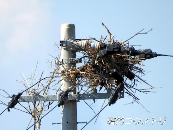 徳島県鳴門市大麻町 コウノトリ 鸛 電柱 巣 2015年11月