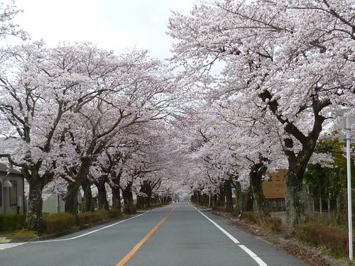 富岡第二中学校東側桜並木トンネル