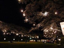 龍城公園夜桜2