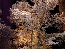 龍城公園夜桜1