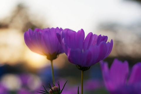 photodune-21292769-purple-cosmos-with-sun-rising-xl