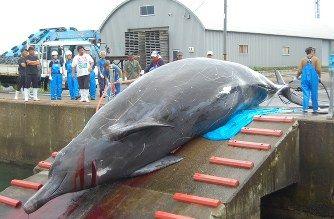 0446ツチクジラのタレ(塩干し)