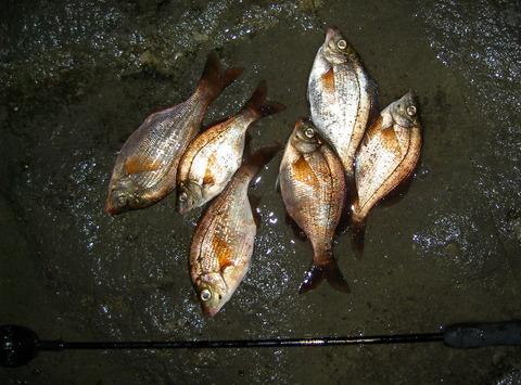 春のウミタナゴ釣り
