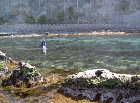 春のワカメ漁1