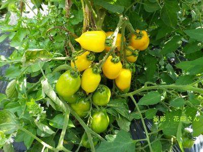 レモントマト