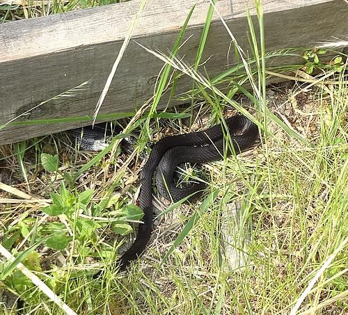 愛知の田舎で古民家暮らし : 蛇