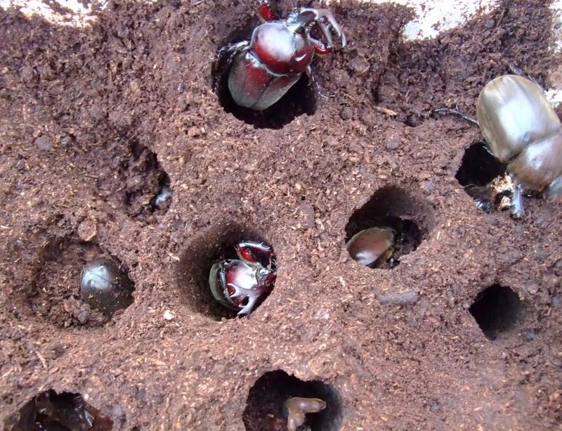 カブトムシ 幼虫 飼育 ケース