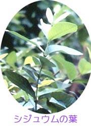 シジュウムの葉