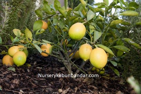 meyer_lemon_2_480x480