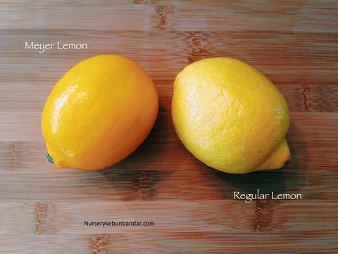 meyer_lemon_1_480x480