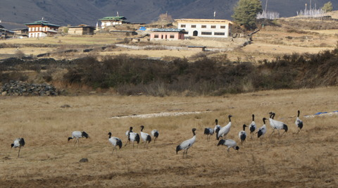 Endangered-Black-Necked-Cranes