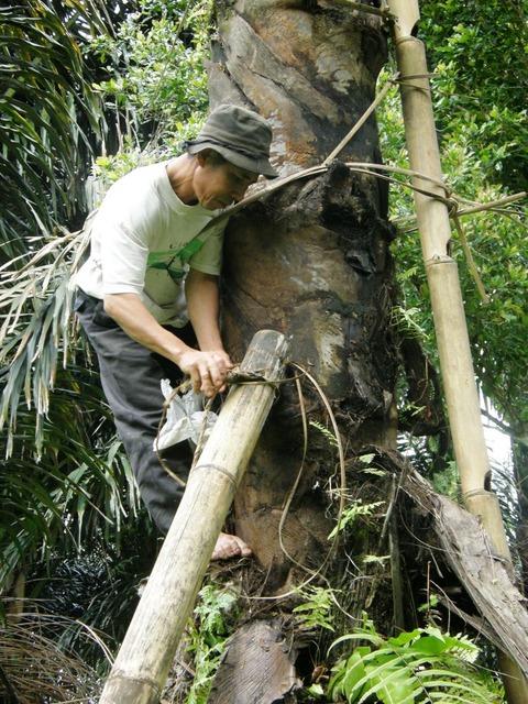 Palmsaftgewinnung3