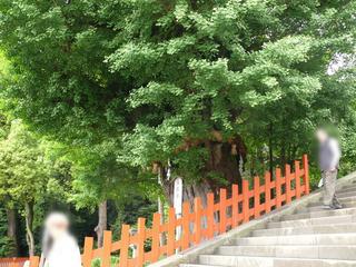 鎌倉大銀杏