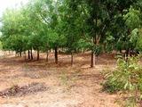 画像 161縮小右列植林