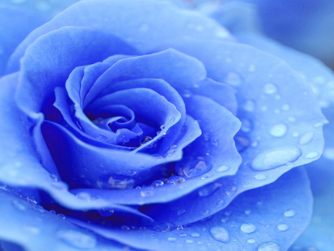 Blue-rose-wallpaper23