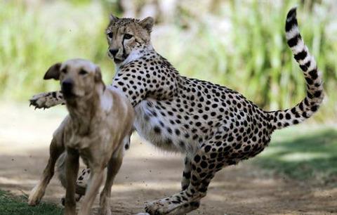 犬 チーター
