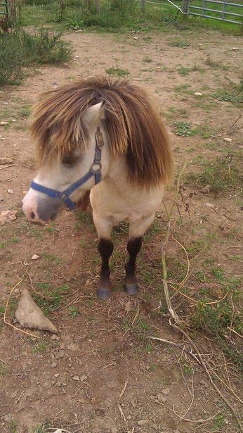 mini-horse-3