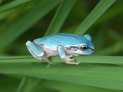 カエル 保護色