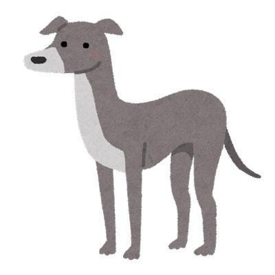 犬 イタリアン・グレーハウンド