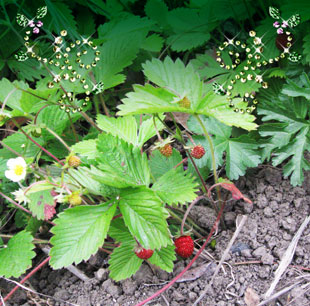 080520_strawberry