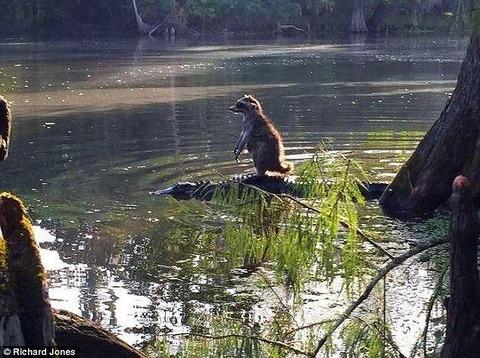 【画像】 アライグマがワニの背中に乗って川を移動