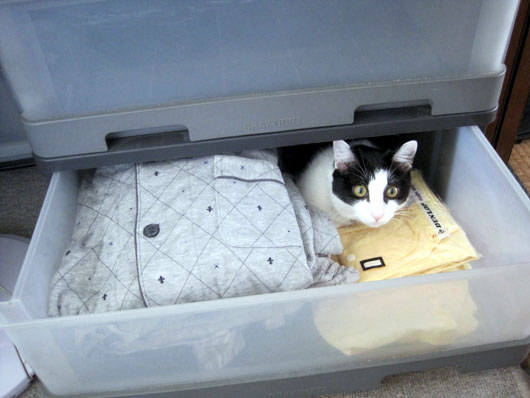 引き出しに入る猫