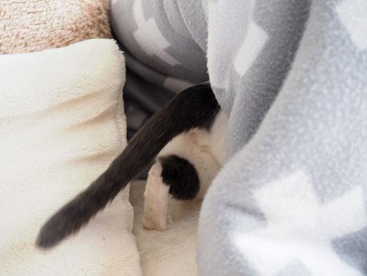 コタツに逃げ込む猫
