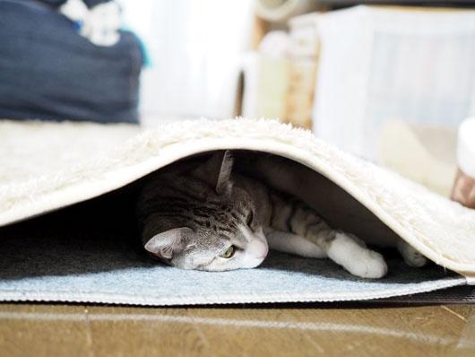 ホットカーペットの間の猫