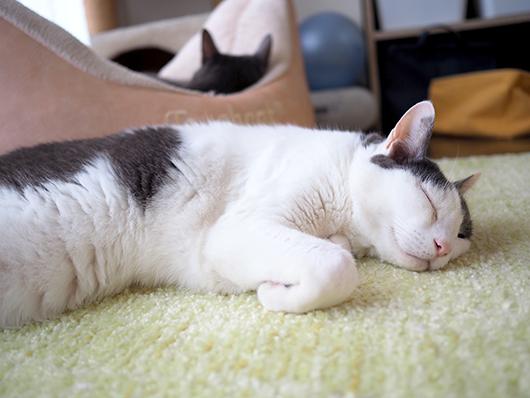のんびりする猫