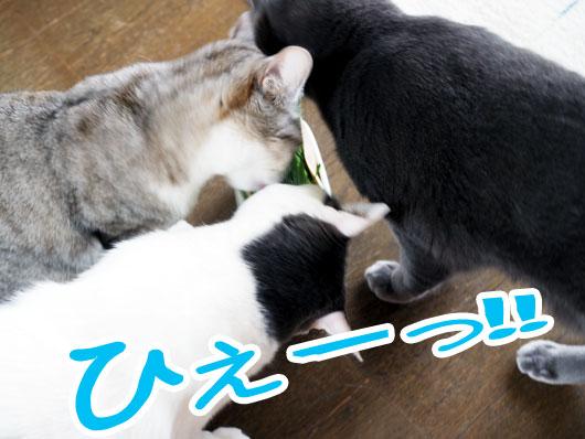 猫草に群がる猫