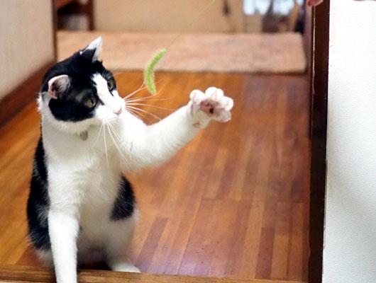 ハチワレ猫と猫じゃらし
