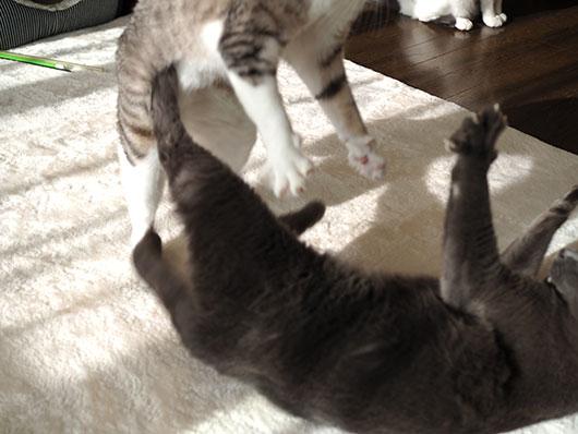 飛びかかる猫