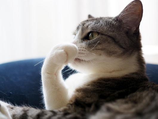 グルーミングする猫