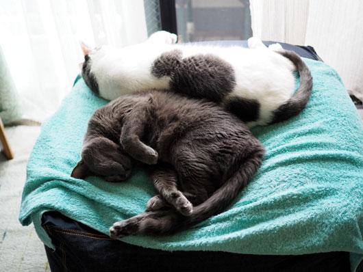 仲良く眠る猫