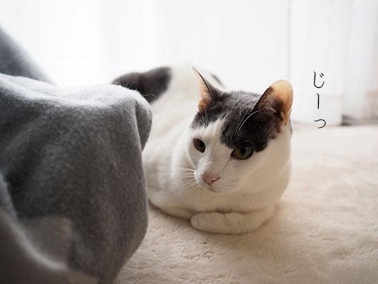 コタツの中をのぞく猫