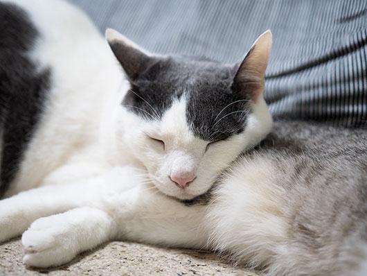 アゴ枕で寝る猫