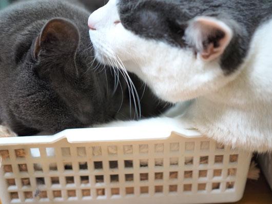 カゴの中の猫