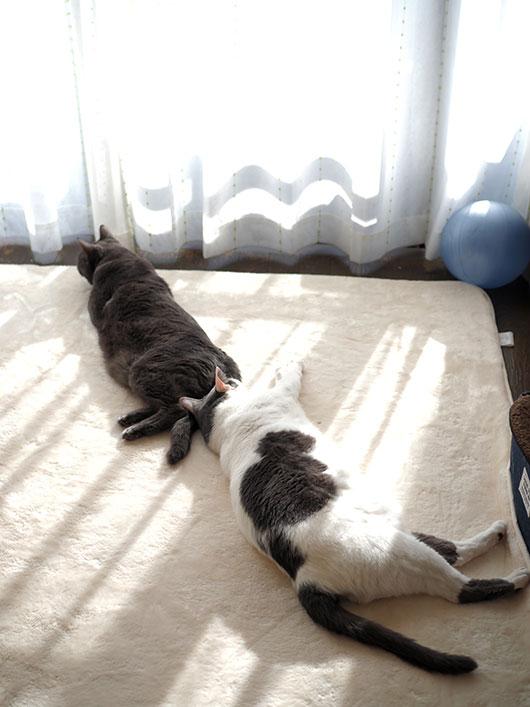 日向ぼっこっする猫
