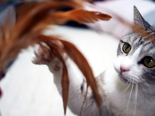 羽根で遊ぶ猫